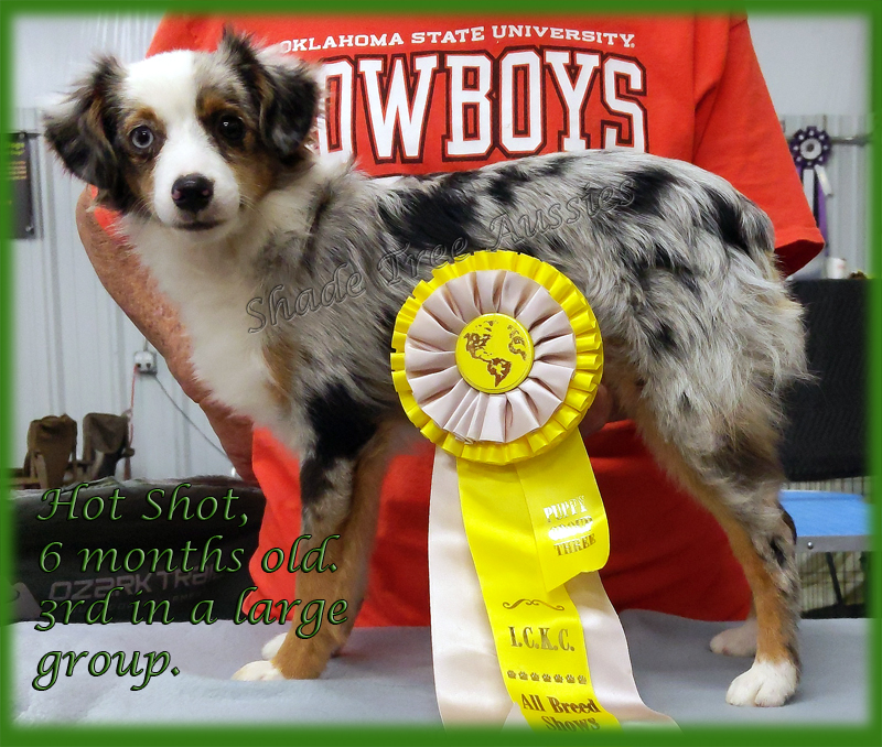 Hot Rod taking 3rd in the herding group of puppies at 6 months old.