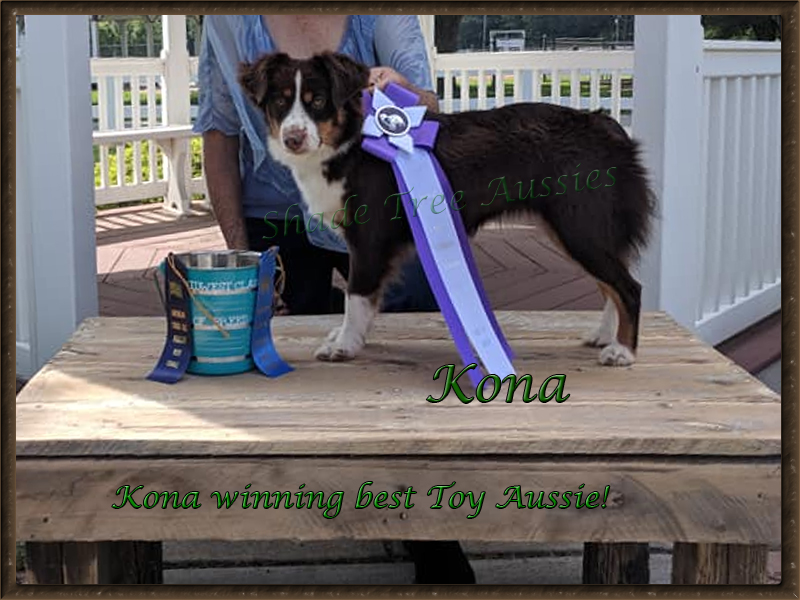 Kona taking best of breed in the Toy Aussie group, 2018.