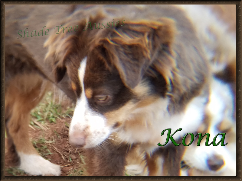 Kona is a very active Toy Australian Shepherd.