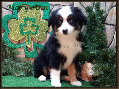 STA Ima Blue Eyed Dream, a blue eyed black Tri female small Miniature Australian Shepherd.