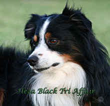 "Heza Black Tri Affair ""Buddy"" is Whiskey's sire"