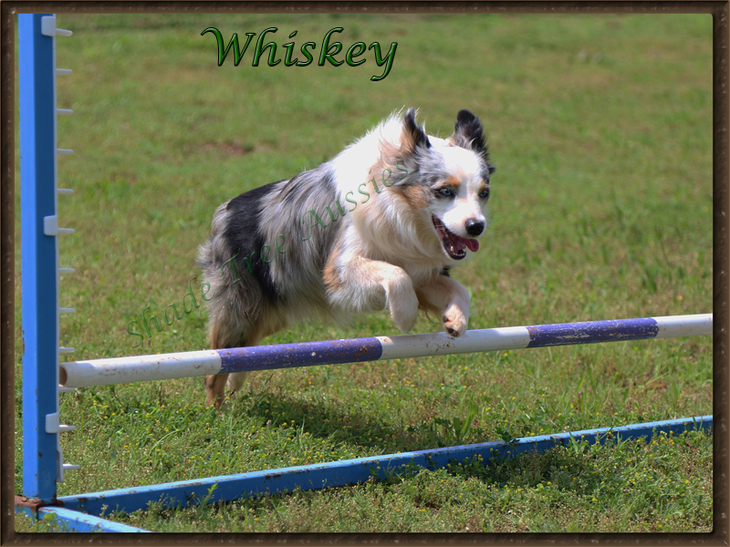 Whiskey jumping in agility.