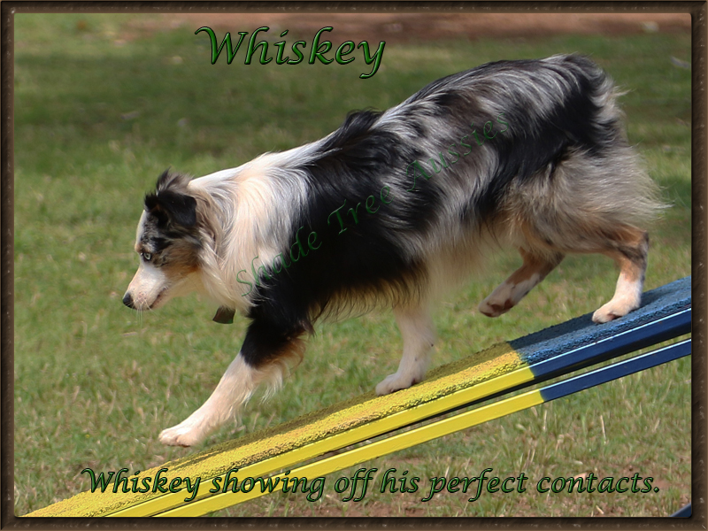 Whiskey showing his great running contacts in agility.