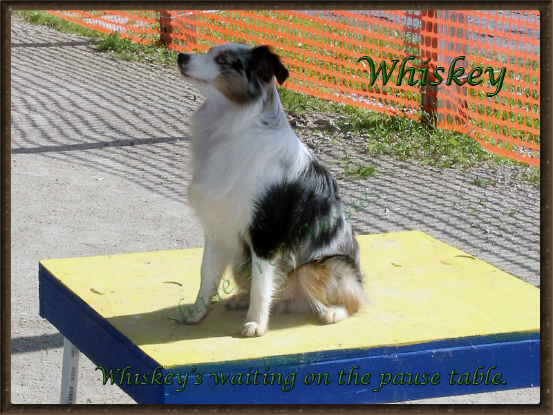 Whiskey waiting on the pause table in agility. His least favorite part but he is trained to sit and wait.