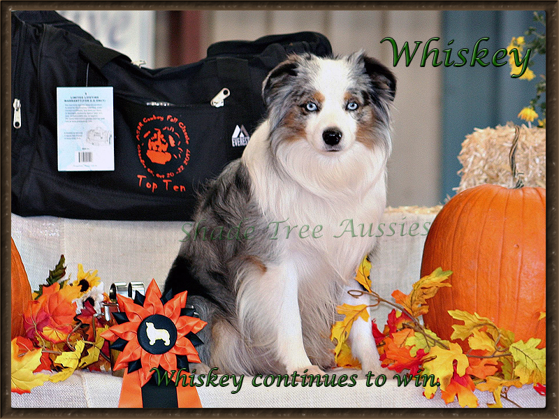 Some of Whiskey's winnings the ASDR Fall Cowboy Classic show.